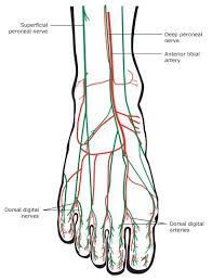 Foot Anatomy Nerves Plantar Foot Anatomy