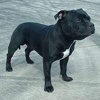 american pitbull terrier a legacy in gameness pitbull terrier wikivisually