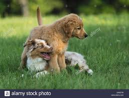 australian shepherd wolf mix australian shepherd puppy golden retriever puppy playing lawn