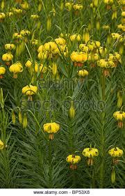 Turks Cap Yellow Turks Cap Lily Stock Photos U0026 Yellow Turks Cap Lily Stock