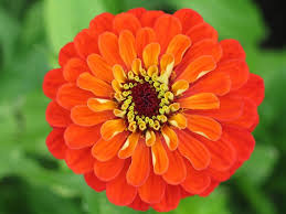 Zinnia Flowers Flower Zinnia Orange Giant