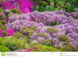 japanese wisteria festival during spring time editorial stock