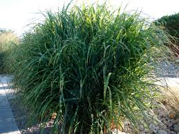 zone 5 grasses selecting the best grasses for zone 5 gardens