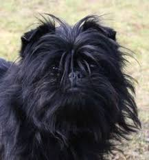 affenpinscher terrier mix adopt fast edwina on