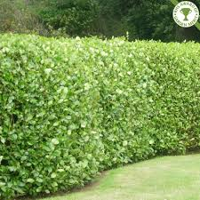 perfect griselinia hedge garden pinterest griselinia hedge