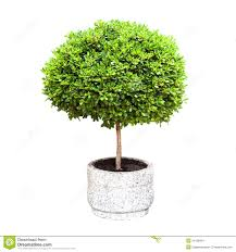 small green decorative tree growing in a pod stock images image