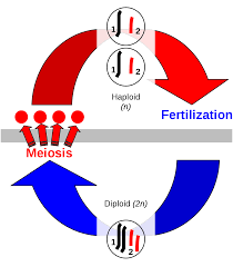 sexual reproduction wikipedia