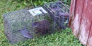 How Do You Get Rid Of Skunks In Your Backyard How To Get Rid Of Groundhogs