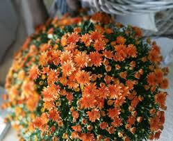 Outdoor Potted Plants Full Sun by Fall Mums Your Ultimate Care Guide