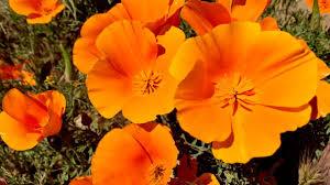 california poppy preserve 1080p youtube