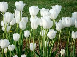 wallpaper bunga tulip audrey hepburn tulip tulip juga pernah menjadi bunga termahal di