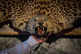real leopard skin rug roselawnlutheran