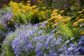 Summer Garden Plants - a charming summer to fall duo achillea u0026 aster