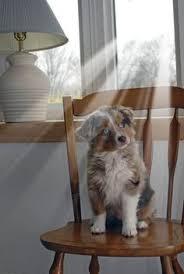 australian shepherd for sale los angeles litter of 2 miniature australian shepherd puppies for sale in