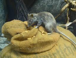 rat symbolism spirit animal totems and messages