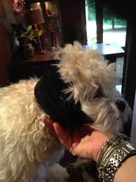 affenpinscher coat type smartstyling canine coat u0026 skin