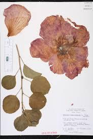 hibiscus rosa sinensis species page isb atlas of florida plants