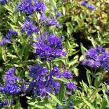 Bluebeard Flower - caryopteris bluebeard garden express