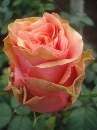 Peach Roses 30 Best Pink U0026 Peach Rose Ombre Images On Pinterest Peach Rose