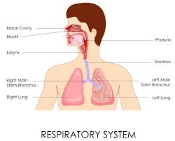 respiratory system components gallery human anatomy image
