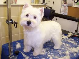 images of westie hair cuts westie haircut pictures choice image haircut ideas for women and man