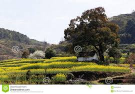 a big tree and a small house in yellow on the hillside stock photo