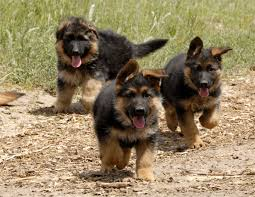 belgian shepherd nz east german vs west german bloodlines