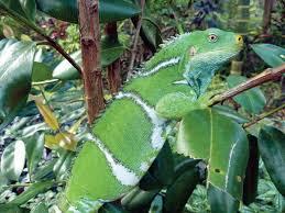 Seeking Lizard Seeking Out The Fiji Crested Iguana