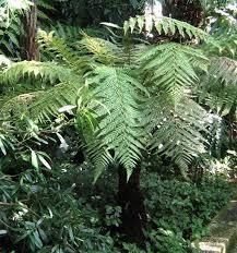 new zealand native plants and trees new zealand wheki ponga fern tree dicksonia fibrosa 100 seeds spores