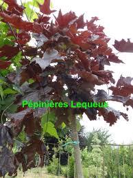 arbuste feuillage pourpre persistant pépinières lequeux arbres à feuillage décoratif