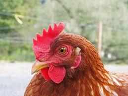my flock chickens u0026 ducks backyard chickens