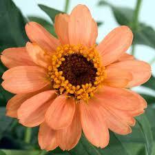 Zinnia Flower The 25 Best Zinnia Flower Photos Ideas On Pinterest Zinnia