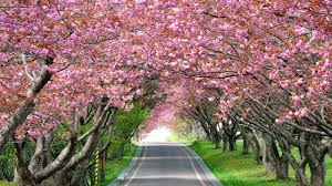 blossom trees wallpaper cherry blossom trees spring hd nature 4959