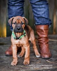 american pitbull terrier rottweiler mix 11 crazily cute rottweiler mixes you have to check out now