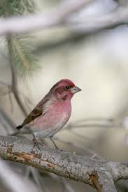 Pennsylvania birds images Winter finches and other boreal bird forecast missing great jpg