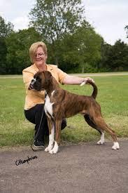 boxer dog white golden brindle u0026 white boxer stud dog ht clear barnsley south