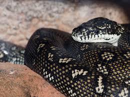 diamond python habitat diet u0026 reproduction sydney