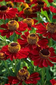 Autumn Flower 120 Best Coneflowers Images On Pinterest Flowers Garden Flower