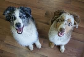 cost of australian shepherd puppy info imagineer australian shepherds
