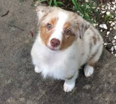 south texas australian shepherd rescue view ad miniature australian shepherd puppy for sale texas