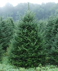 fraser fir tree fraser fir dug mattern s pine ridge nursery tree farm