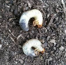 download getting rid of grub worms solidaria garden