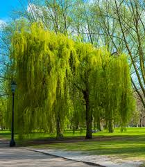 weeping willow tree salix babylonica for sale brighter blooms