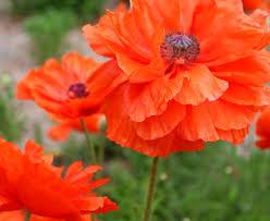 fields of dreamy poppies u2013 the garden spotter
