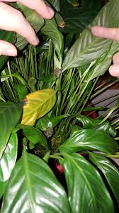 peace lily peace lily problems ask an expert
