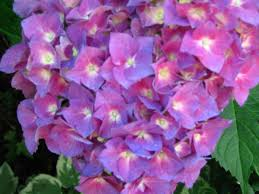 polka dot galoshes i love my hydrangeas