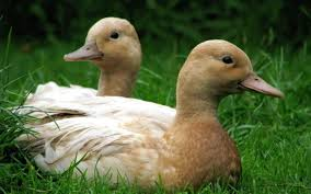 the benefits of keeping fowl in the garden the telegraph