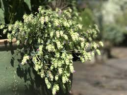 origanum amethyst falls amethyst falls ornamental oregano