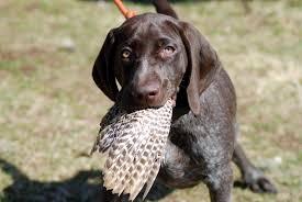 adventures of a gsp hunting dog choosing a hunting dog breeder