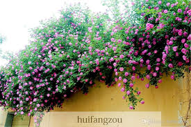 What To Use For Climbing Plants - sale 100 seeds climbing rose seeds plants spend climbing roses